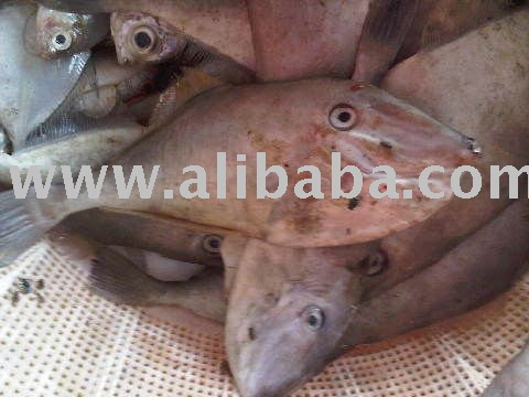 Leather jacket fish products indonesia leather jacket fish for Leather jacket fish