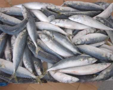 Frozen mackerel (scomber japonicus) for sale at cheap market prices