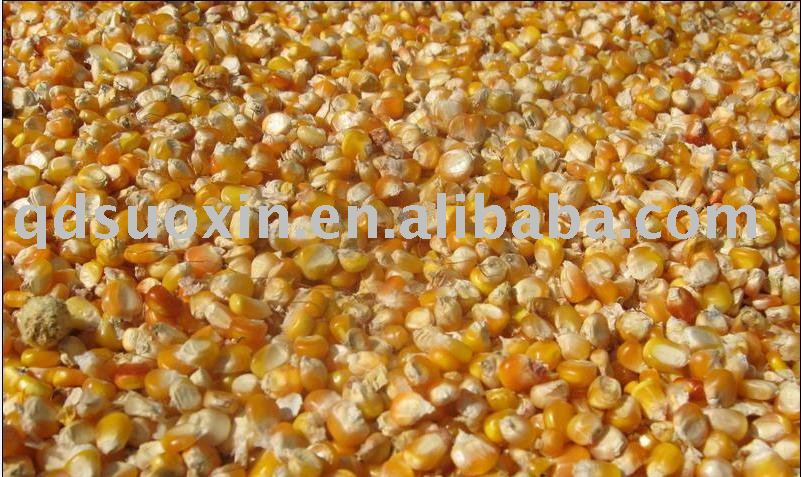 yellow corn for animal feed