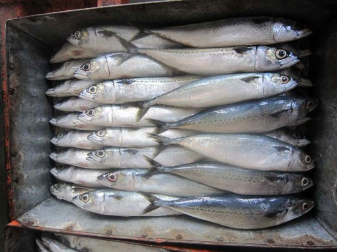 Frozen fish horse mackerel products china frozen fish for Does frozen fish go bad