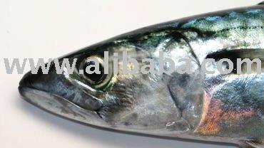 frozen atlantic mackerel ,scomber  scombrus