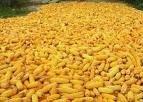 feed corn, corn seed, corn oil, white corn, corn flakes, yellow corn, corn starch, canned sweet corn