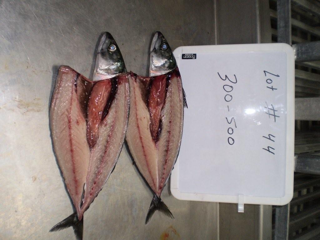 Whole Round Atlantic Mackerel Scomber Scombrus