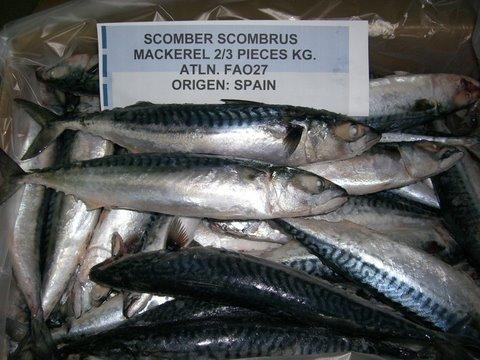 Mackerel Scomber  scombrus
