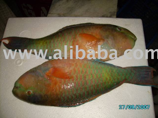 Parrot Fish For Sale Parrot Fish