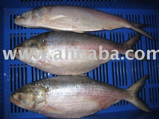 Fish Export