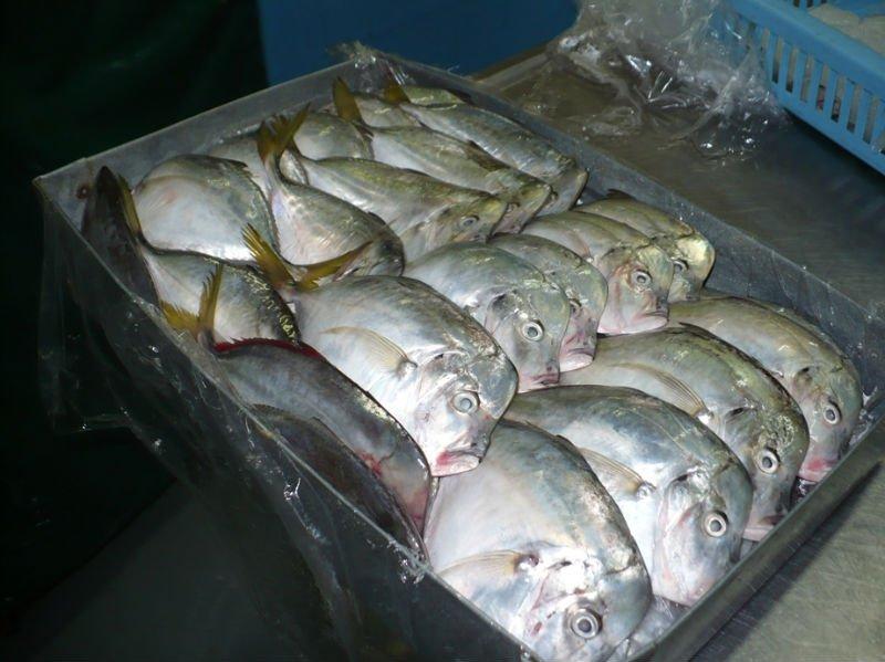 Moonfish vomer selene peruviana products ecuador for Opah fish price