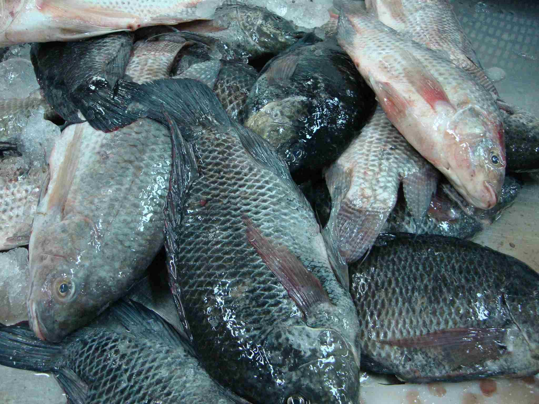 Tilapia aquatic products from vietnam suppliers exporters for Is tilapia a fish