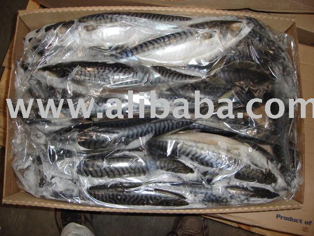 Mackerel  ( Scombrus   Scombrus )