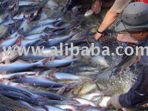 Sell basa fish from vietnam with coppetitive price for What kind of fish is basa