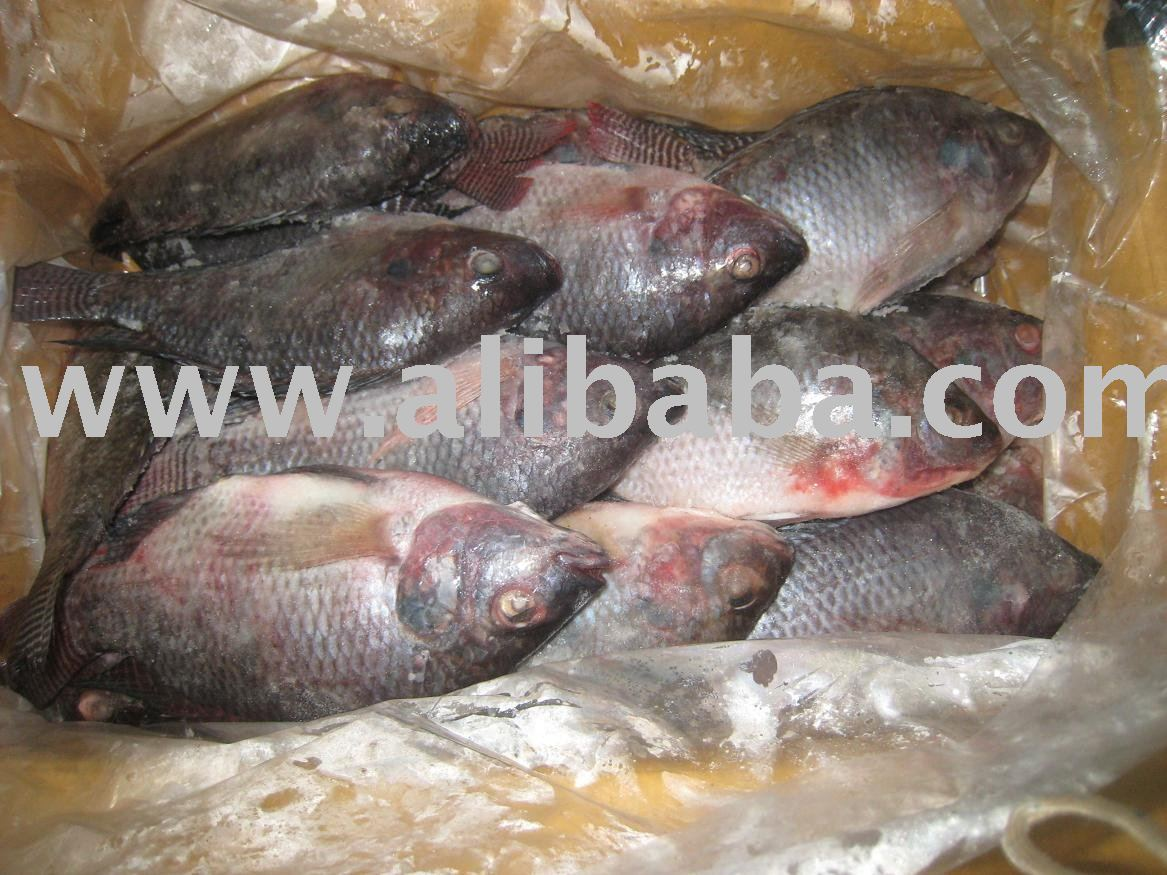 Frozen fish tilapia products thailand frozen fish tilapia for What is tilapia fish