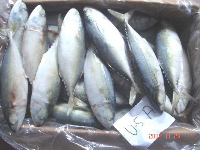 IQF FROZEN Indian MACKEREL