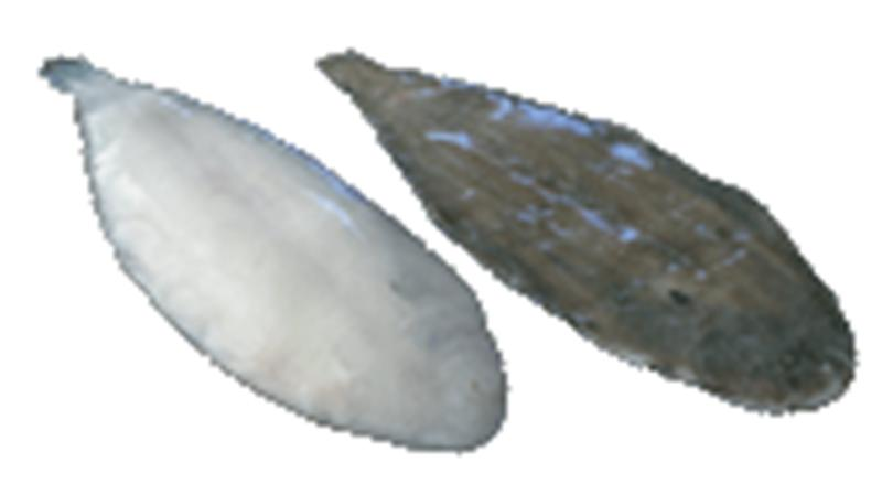 Dover sole fish products netherlands dover sole fish supplier for Dover sole fish