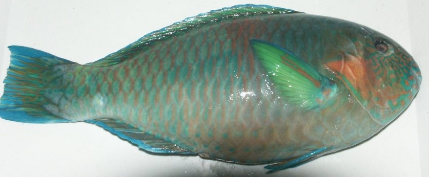 Parrot fish suppliers exporters on for Jamaican butter fish