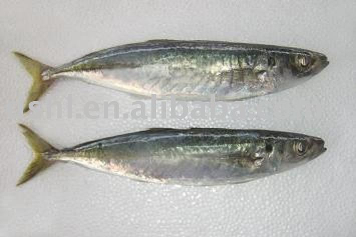frozen blue scad, blue mackerel scad