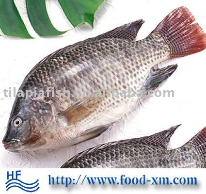 fresh frozen black tilapia fish