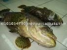 KERAPU / GROUPER FISH
