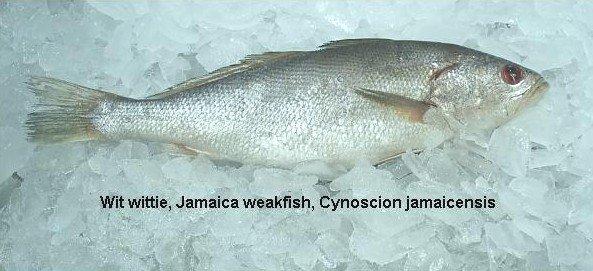 White Croaker (Cynoscion jamaicensis)