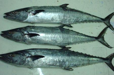 king fish productsindia king fish supplier king fish 450x295