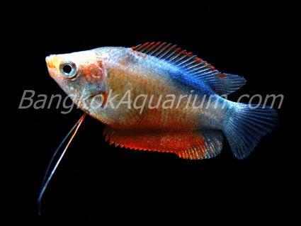 Dwarf Tropical Fish Tropical Fish / Red Dwarf
