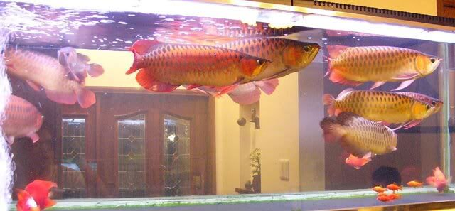 Top asian super red arowana fish and others for sale for Arowana fish for sale online
