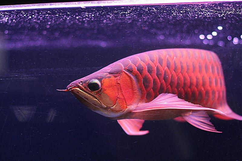 Qulity Super Red Asian Arowana fish for sale and many others