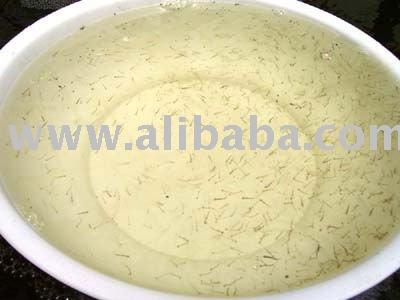 Milk Fish Fry / Chanos Chanos / Nener / Bandeng