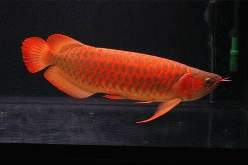 Top Asian Super Red Arowana Fish and others for sale(Moderate Prices)