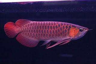 CHILI RED AROWANA FISH FOR SALES