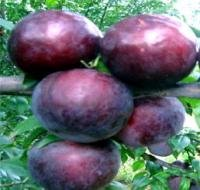 Fresh Angeleno Plums For Sale