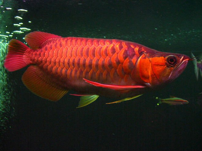 Magnificent Healthy Chili Red Arowana Fish For Sale