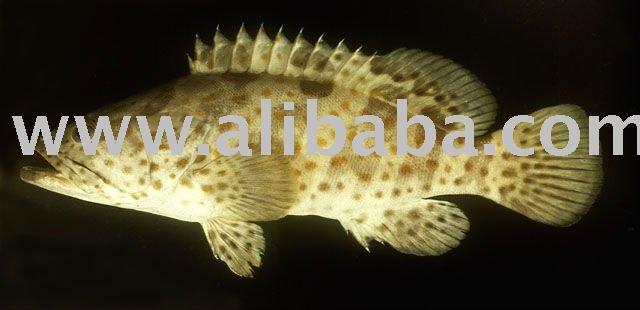 kerapu fish