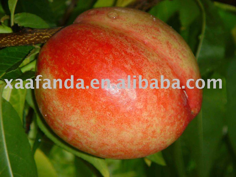 nectarine fruit juice Powder