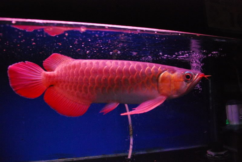 supe red ,chilli red ,xback and golden asian  arowanas available