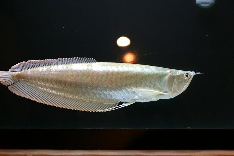 silver  ,chilli red ,xback and golden asian  arowanas available