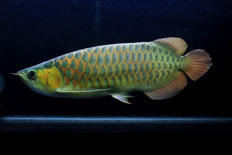 Super red arowana fish images for Flower horn fish price