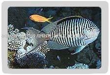 Zebra Angel Fish (Male)