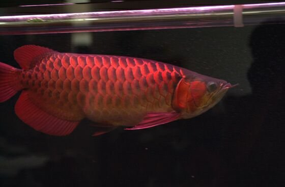 Red Asian Arowana fish For sale