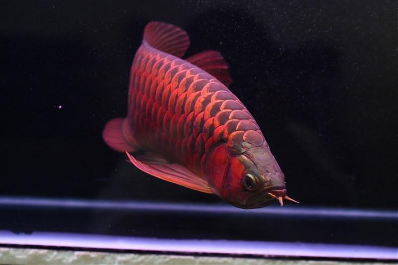 Jardini arowana fish for sale products cameroon jardini for Arowana fish for sale online