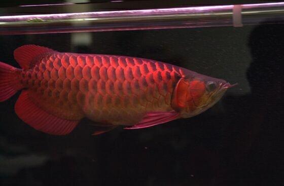 Red Asian Arowana Fish (Super Red)