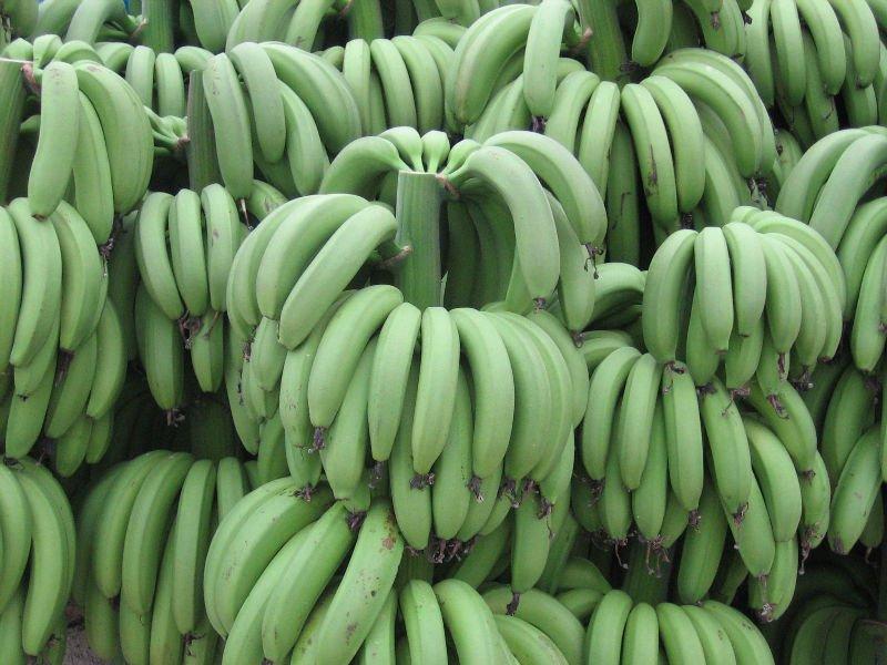 GREEN CAVENDISH BANANA products,India GREEN CAVENDISH BANANA supplier800 x 600 jpeg 93kB