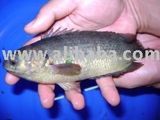 perch fish suppliers,exporters on 21food com