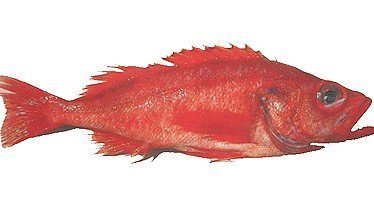 Seafood fish pacific ocean perch products united for Ocean perch fish
