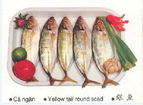YELLOW TAIL ROUND SCAD