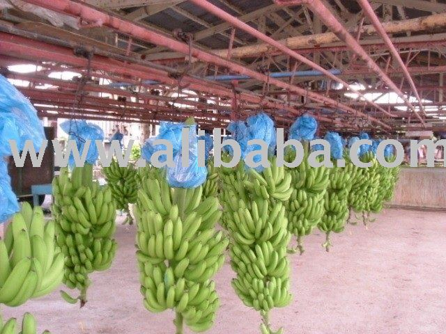Fresh Greeen Cavendish Bananas