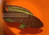 Badis badis badis Fish