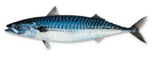 Mackerel (Scomber  Scombrus )
