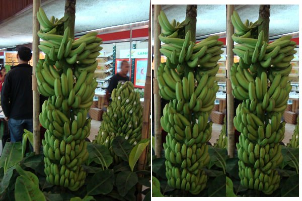 Fresh Green Bananas, Cavendish Banana,