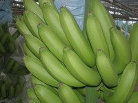 fresh Philippine Cavendish Bananas