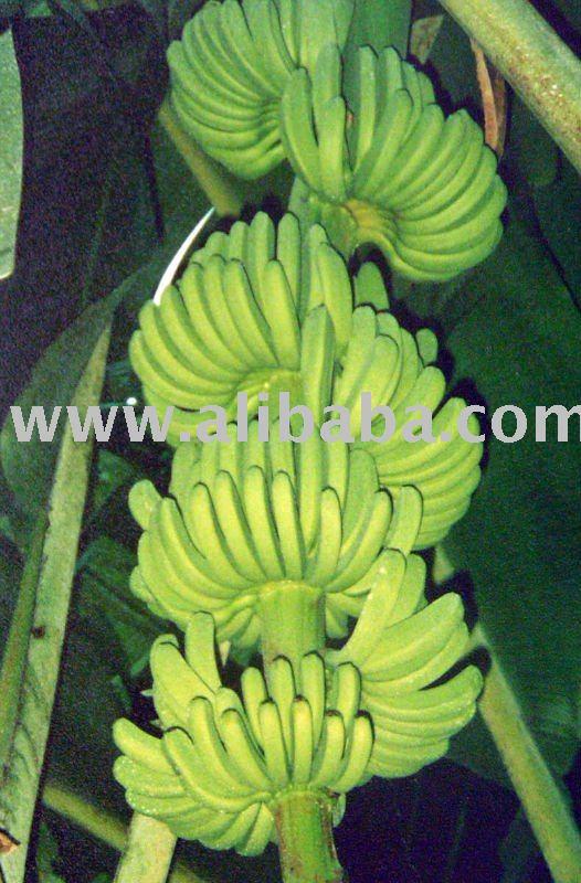 Philippine sweet banana